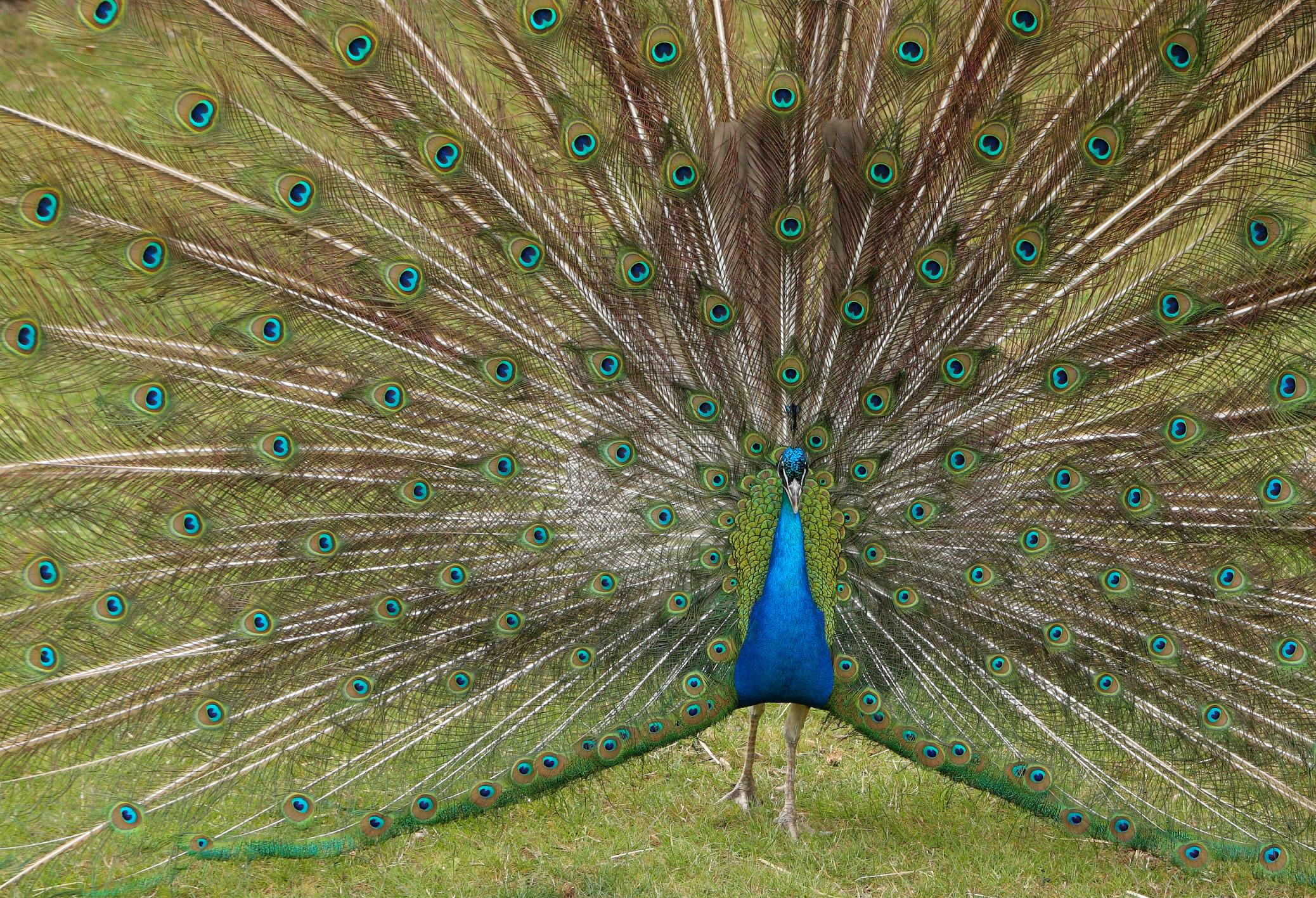 Bharatiya Peacocks.jpg