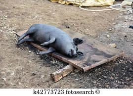 slaughtered-pig-burned-pig-prepared-stock-photo__k42773723.jpg